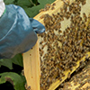 New Zealand Certificate in Apiculture Level 3 course thumbnail image
