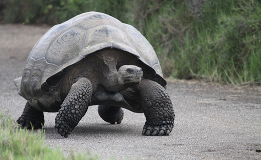 There are only a handful of Giant Fenandina giant tortoise in the world today but if you study the Tropical Ecology and Monitoring course you will get an opportunity to check out their homelands in the Galapagos Islands